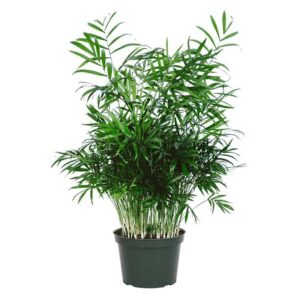 American Plant Exchange Chamaedorea Elegans Victorian Parlour Palm Live Plant, 6-Pot, Indoor-Outdoor Air Purifier