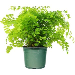 """Maidenhair Fern (12"""" - 16"""" Tall) - Live Plant - FREE Care Guide - 6"""" Pot - Low Light House Plant"""