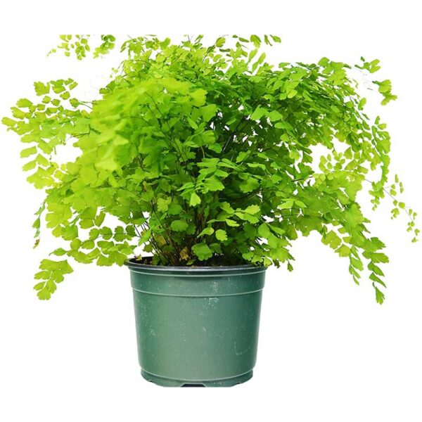 "Maidenhair Fern (12"" - 16"" Tall) - Live Plant - FREE Care Guide - 6"" Pot - Low Light House Plant"
